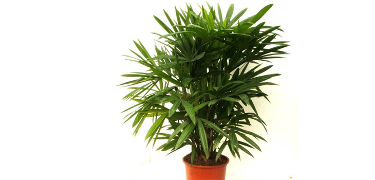 Lady Palm In House Plant