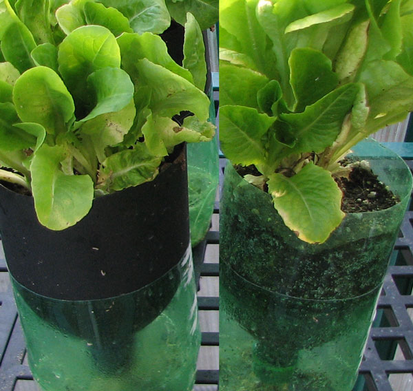 proper growth of lettuce