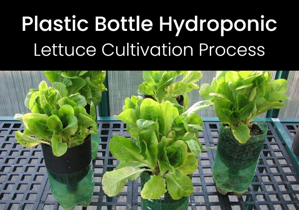Lettuce Cultivation Process