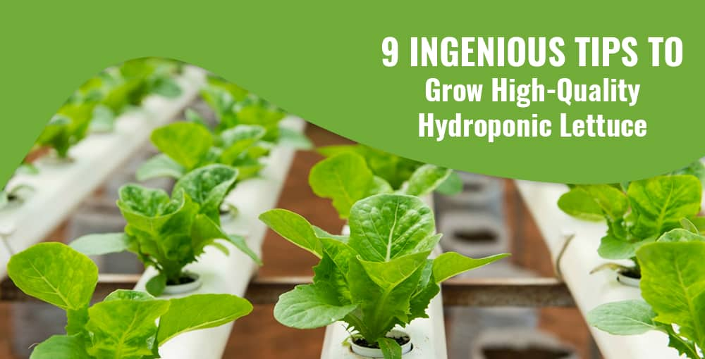 9 Ingenious Tips to Grow High-Quality Hydroponic Lettuce
