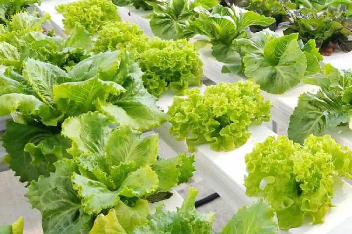 9 Tips to Grow High-Quality Hydroponic Lettuce