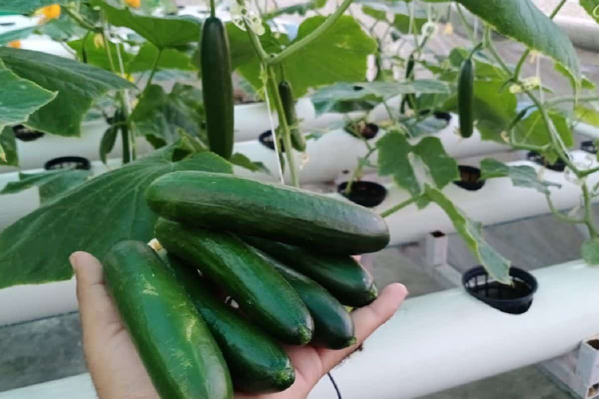 Easy Steps To Grow Cucumber Using Hydroponic Systems